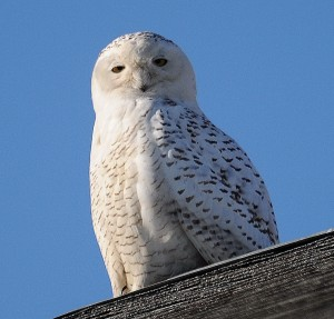 Snowy Owl at Sandy Point.