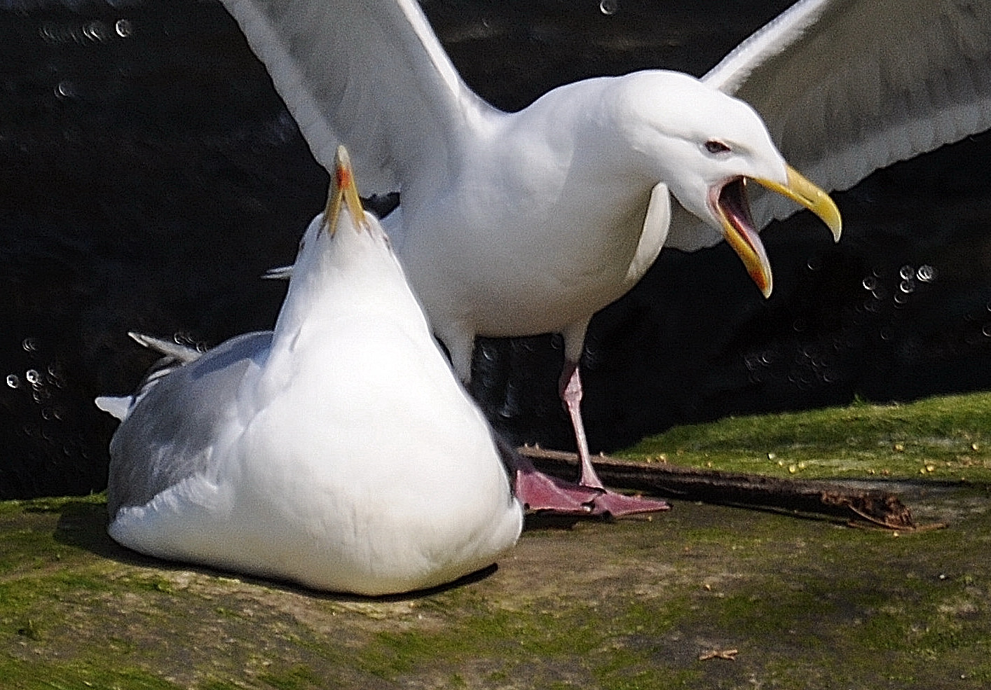 Galaucous-winged gull calling.               Photo: Joe Meche