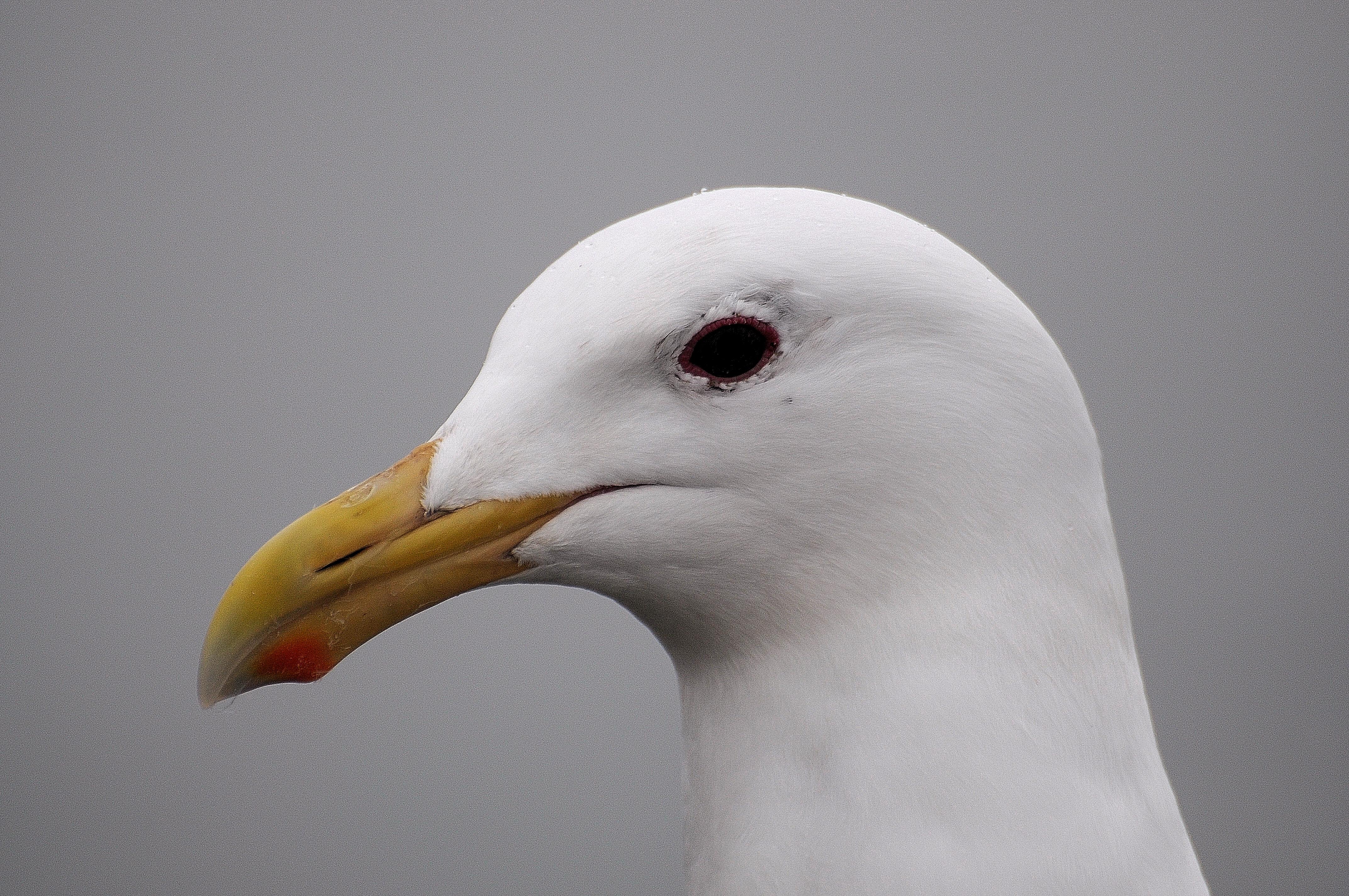 Galaucous-winged gull                          Photo: Joe Meche