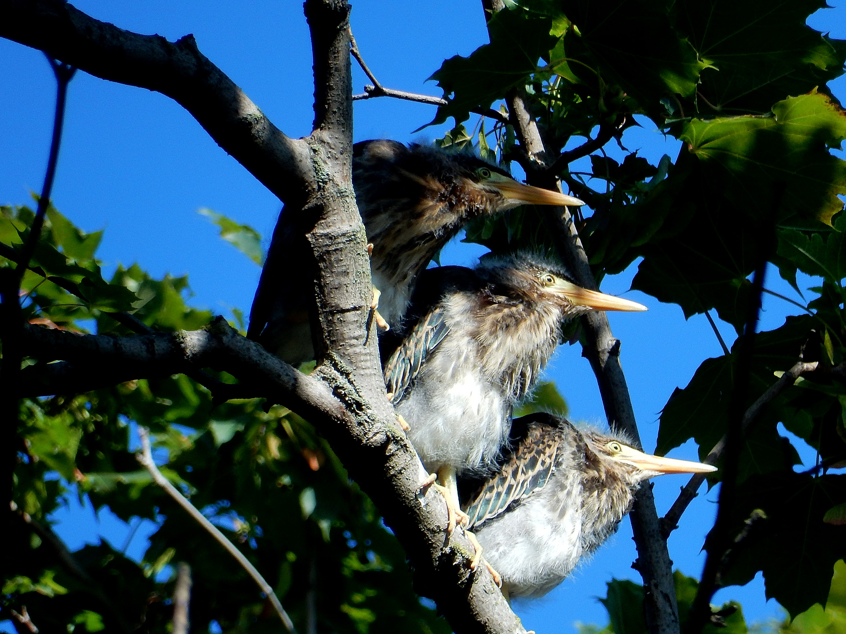 Three green heron chicks. photo: Joe Meche