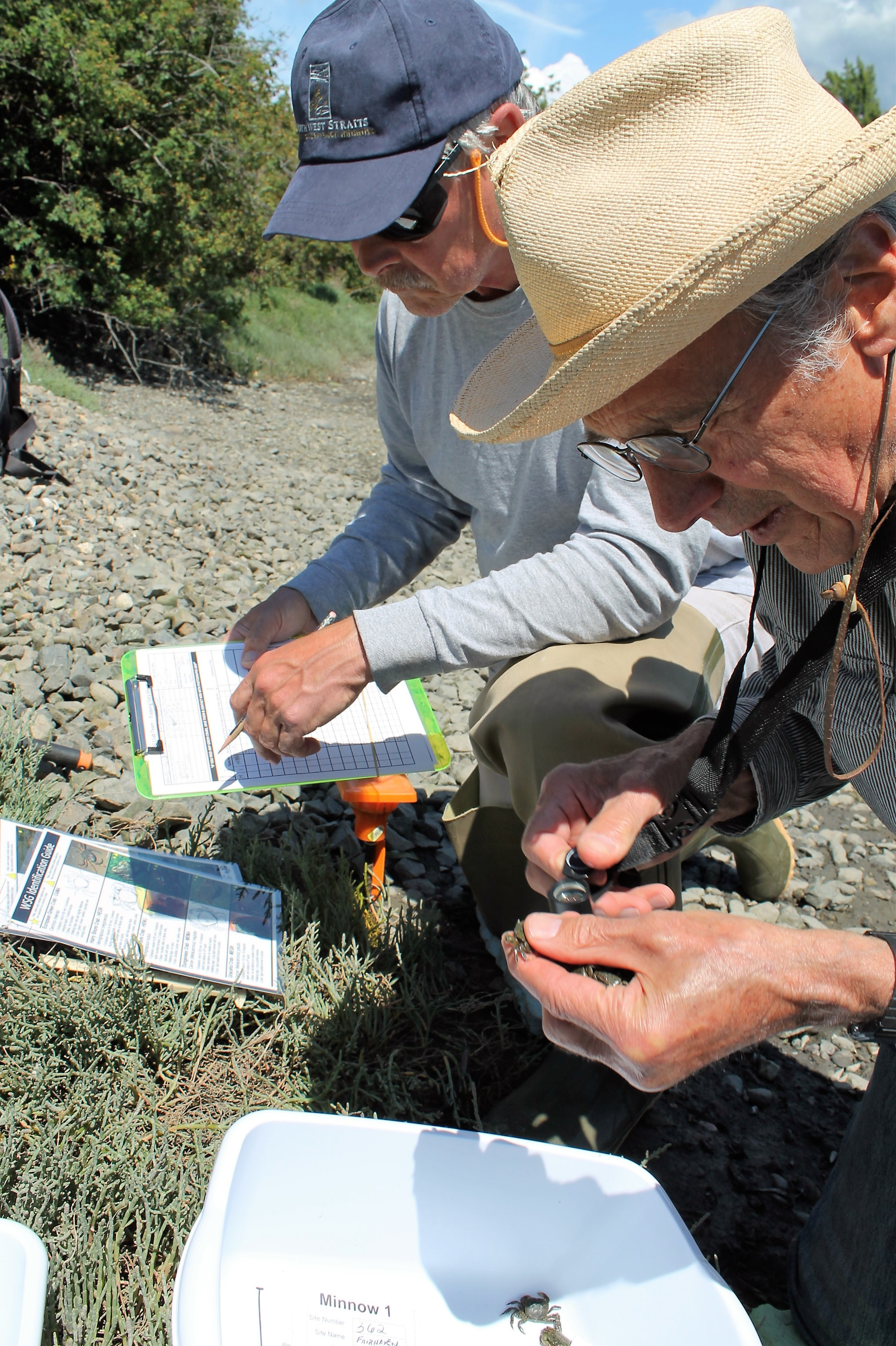 Bob Cecile (top) and Bob Lemon inspect crabs trapped during the green crab project last summer at Post Point Lagoon in Fairhaven. No green crabs were found, although four have been trapped at Padilla Bay.