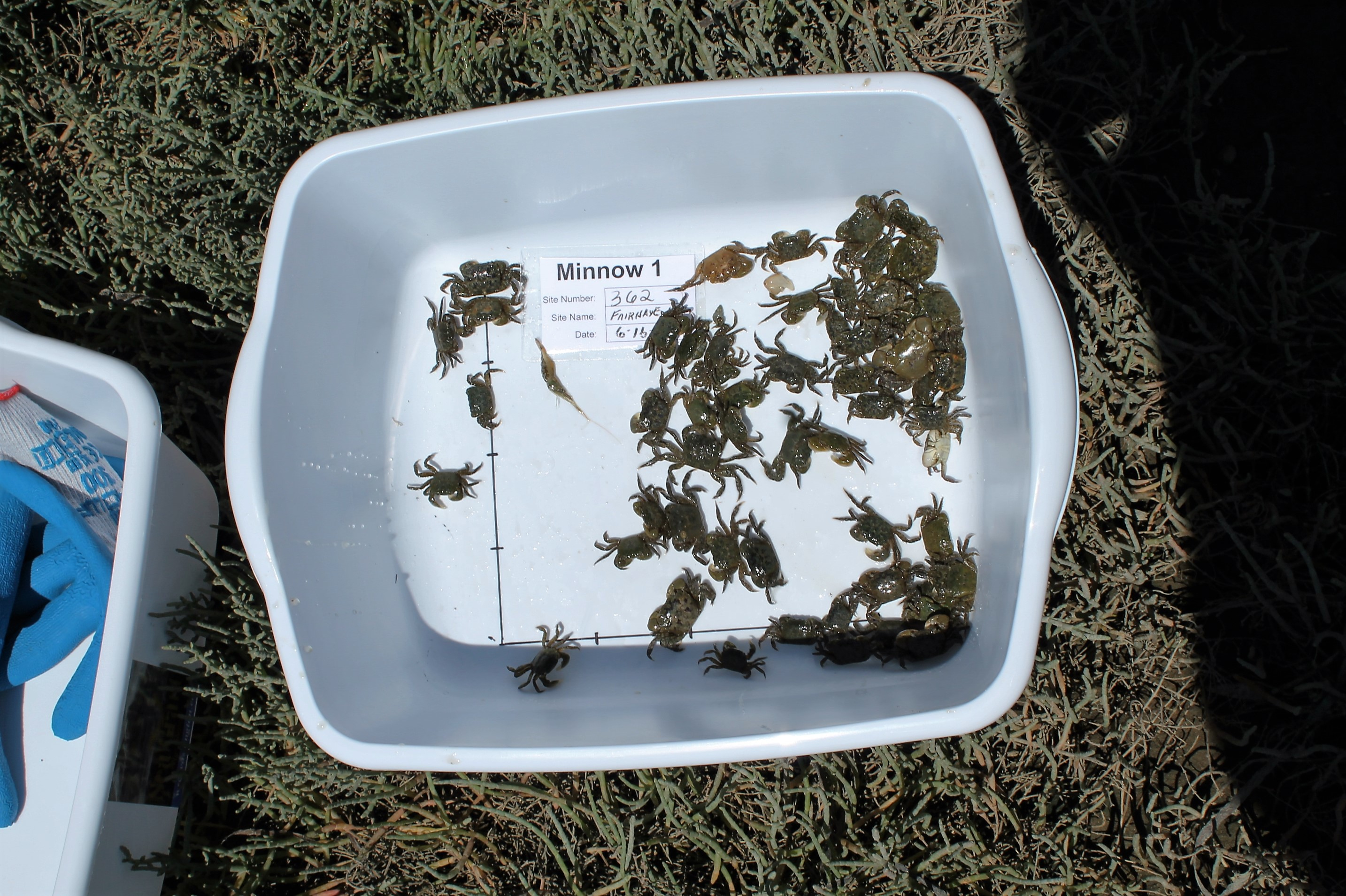 The day's catch from one inspection minnow trap awaits at Post Point Lagoon in Fairhaven. In all, six traps are set for each count. The crabs are measured for width in millimeters, sexed and counted before being turned loose again.