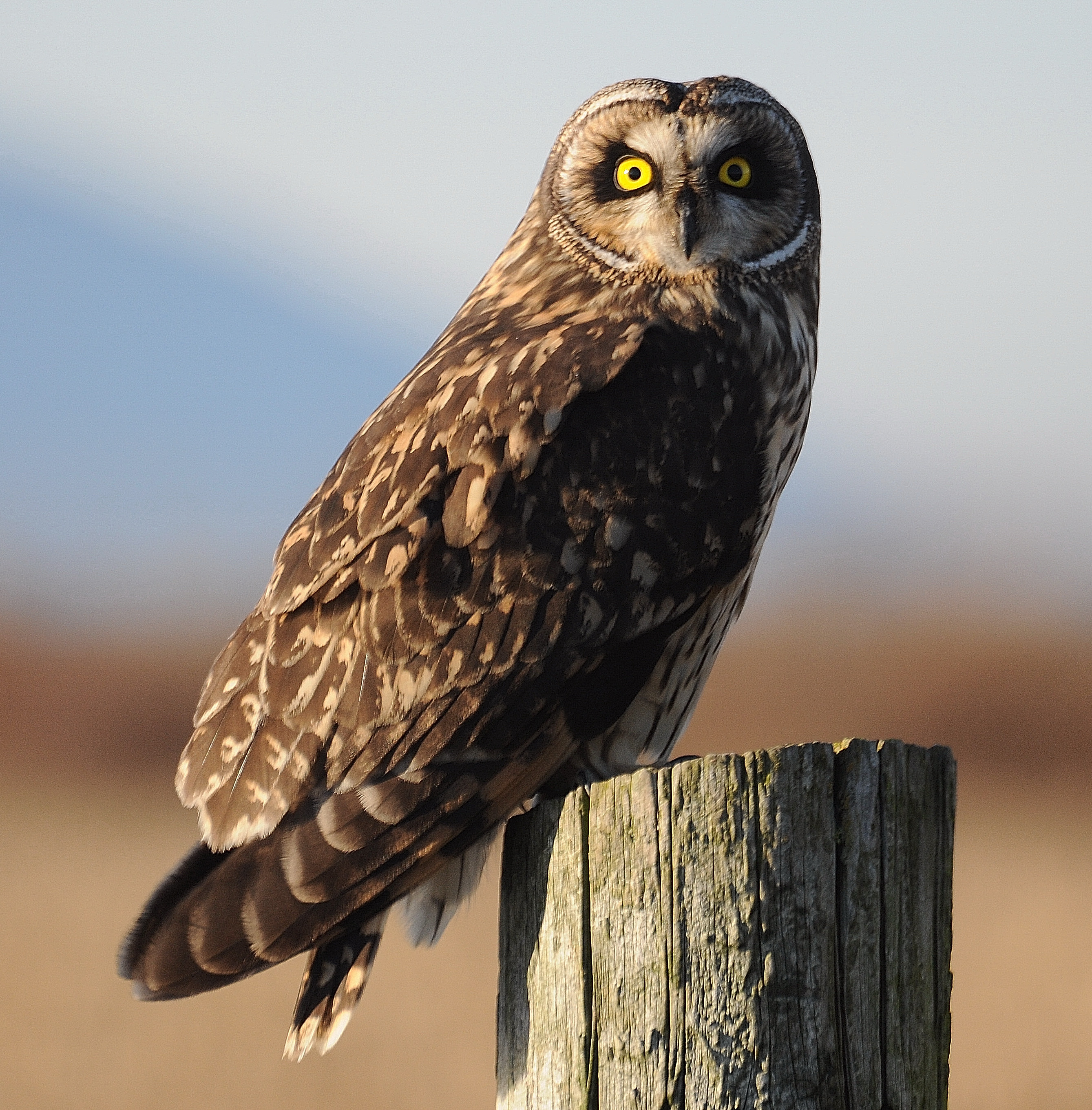 Short-eared Owl photo: Joe Meche