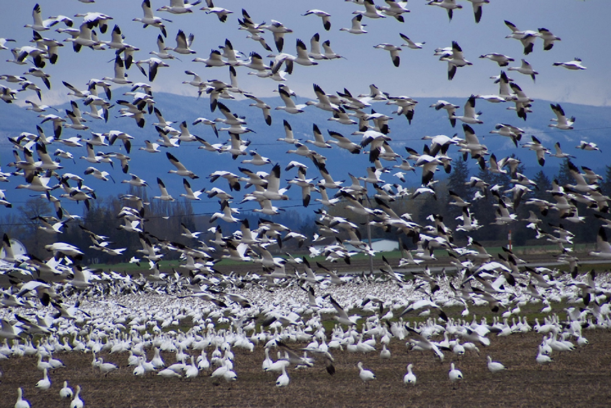 Snow geese on Fir Island in 2011. For more on Fir Island, see December 2016 Beaks and Bills. Photo: Joe Meche