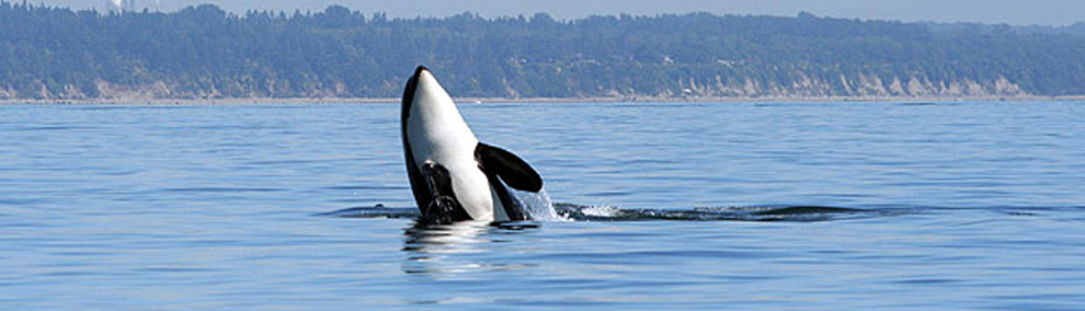 Orca spyhops out of water near Cherry Point Aquatic Reserve. photo: Washington State Department of Natural Resources