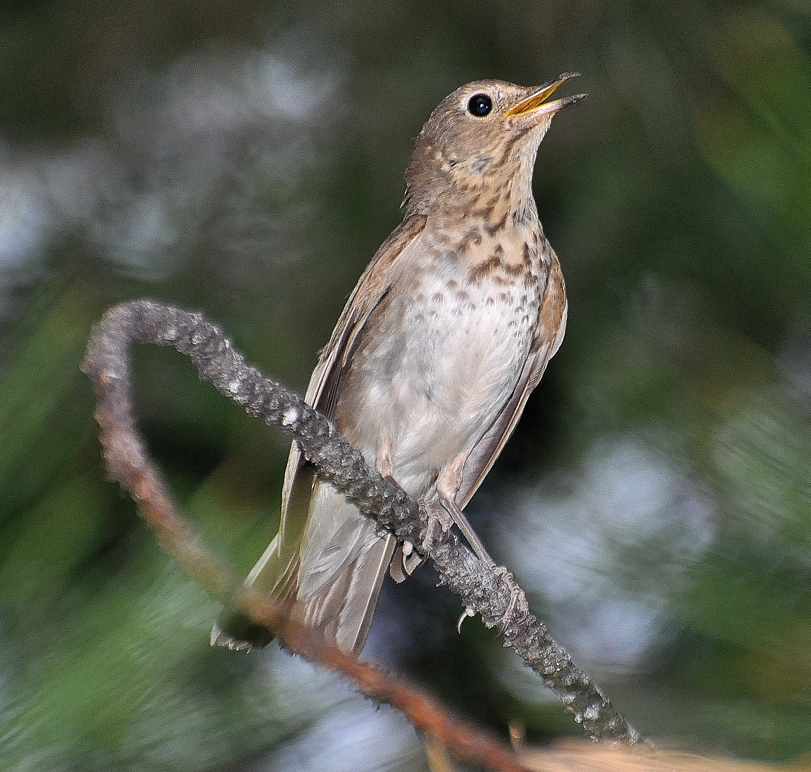 Swainson's Thrush photo: Joe Meche