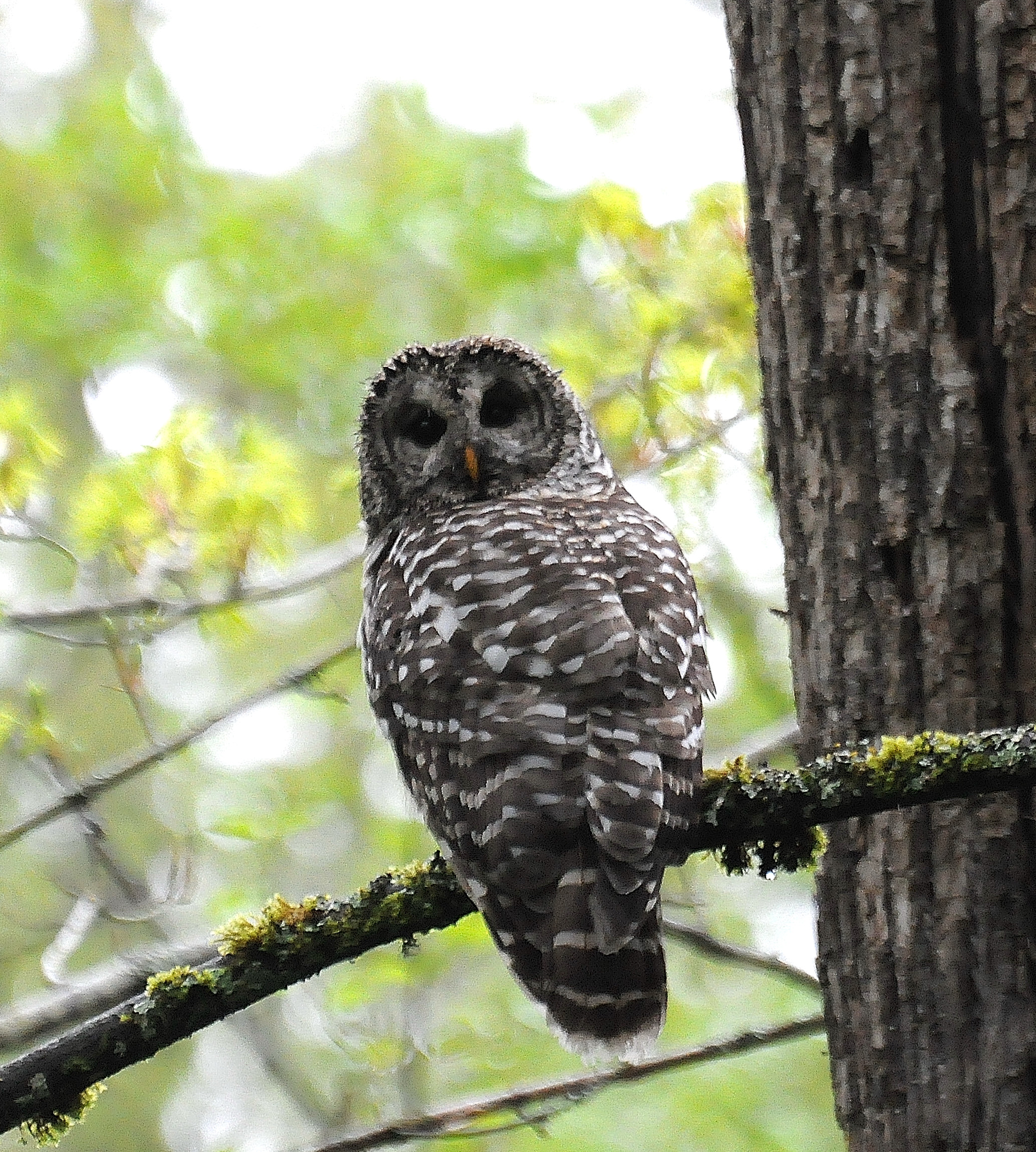 Barred owl photo: Joe Meche