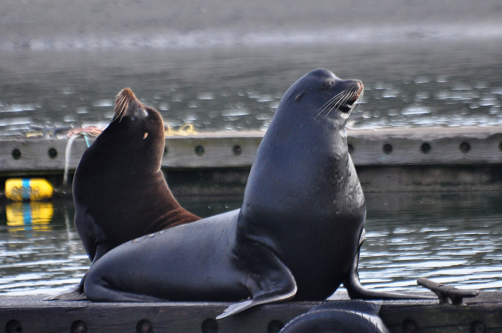 California sea lions at Westport. photos: Joe Meche