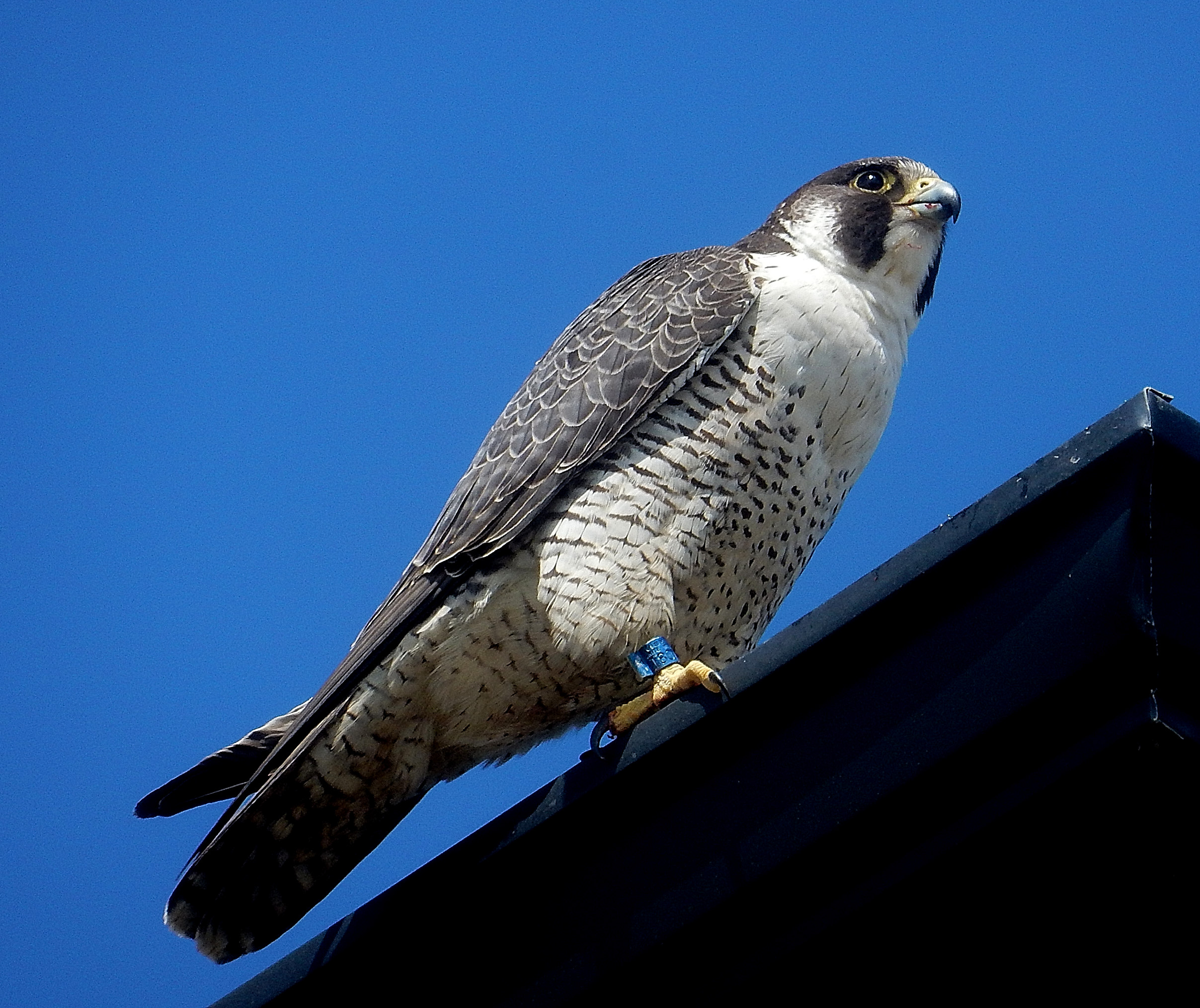 Peregrine falcon. photo: Joe Meche