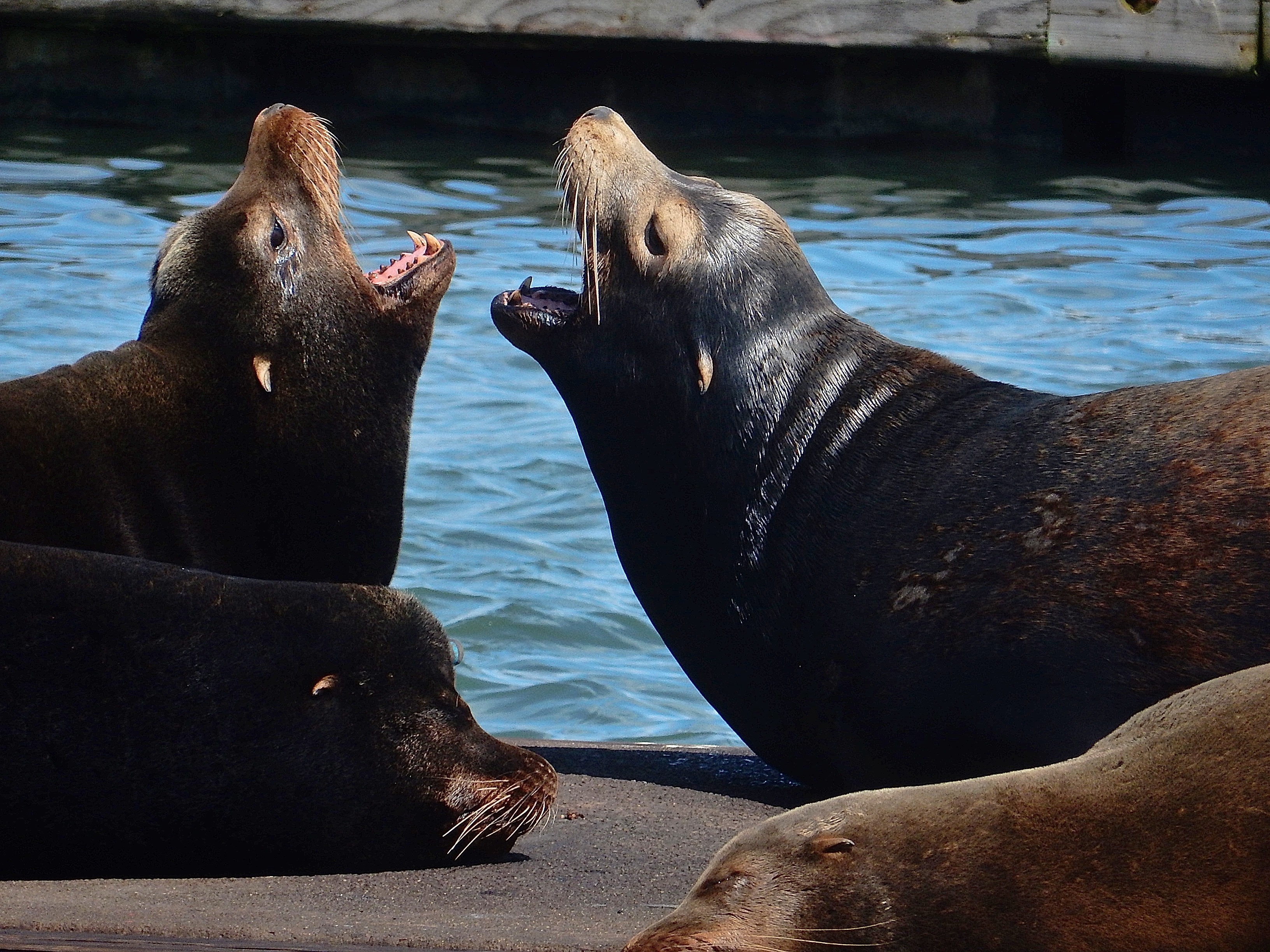 California sea lions at Westport. photo: Joe Meche