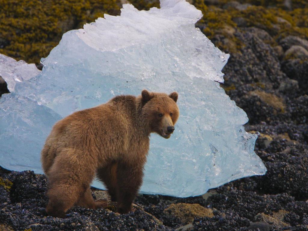 Beachcombing grizzlies are a common sight in southeast Alaska. Photo: Courtesy of Bob Duke