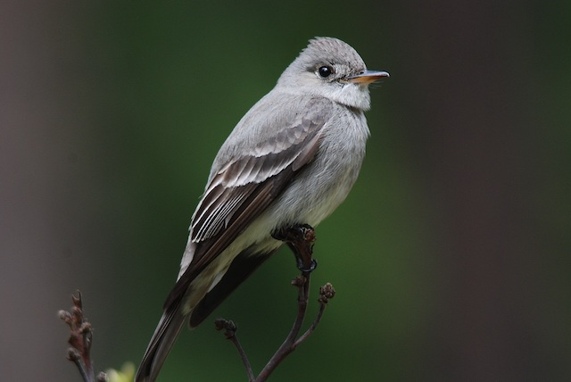 Gray flycatcher photo: Joe Meche