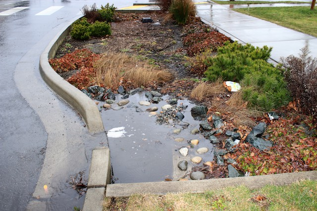 Rain garden draining street runoff at Garden and Magnolia Sts. photo: Ron Kleinknecht