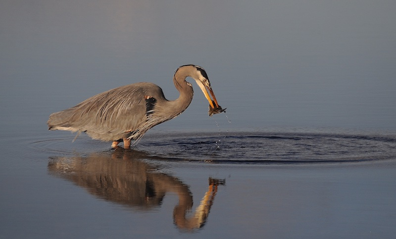 Great blue heron photo: Joe Meche