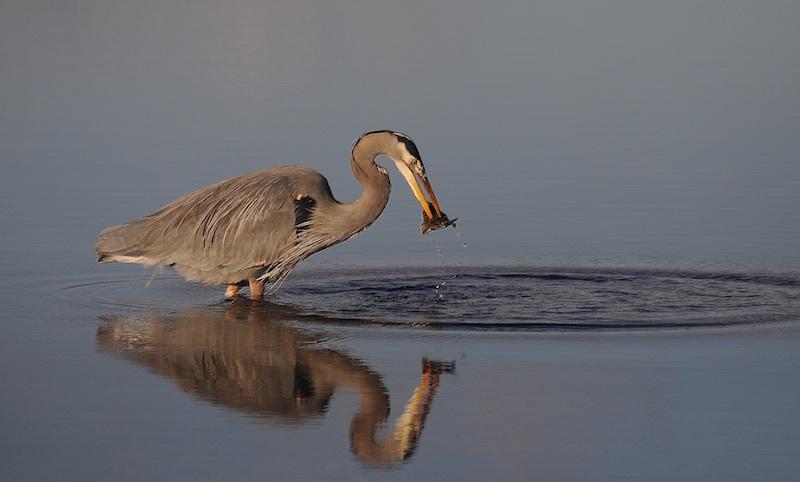Great blue heron photo: Joe Meche