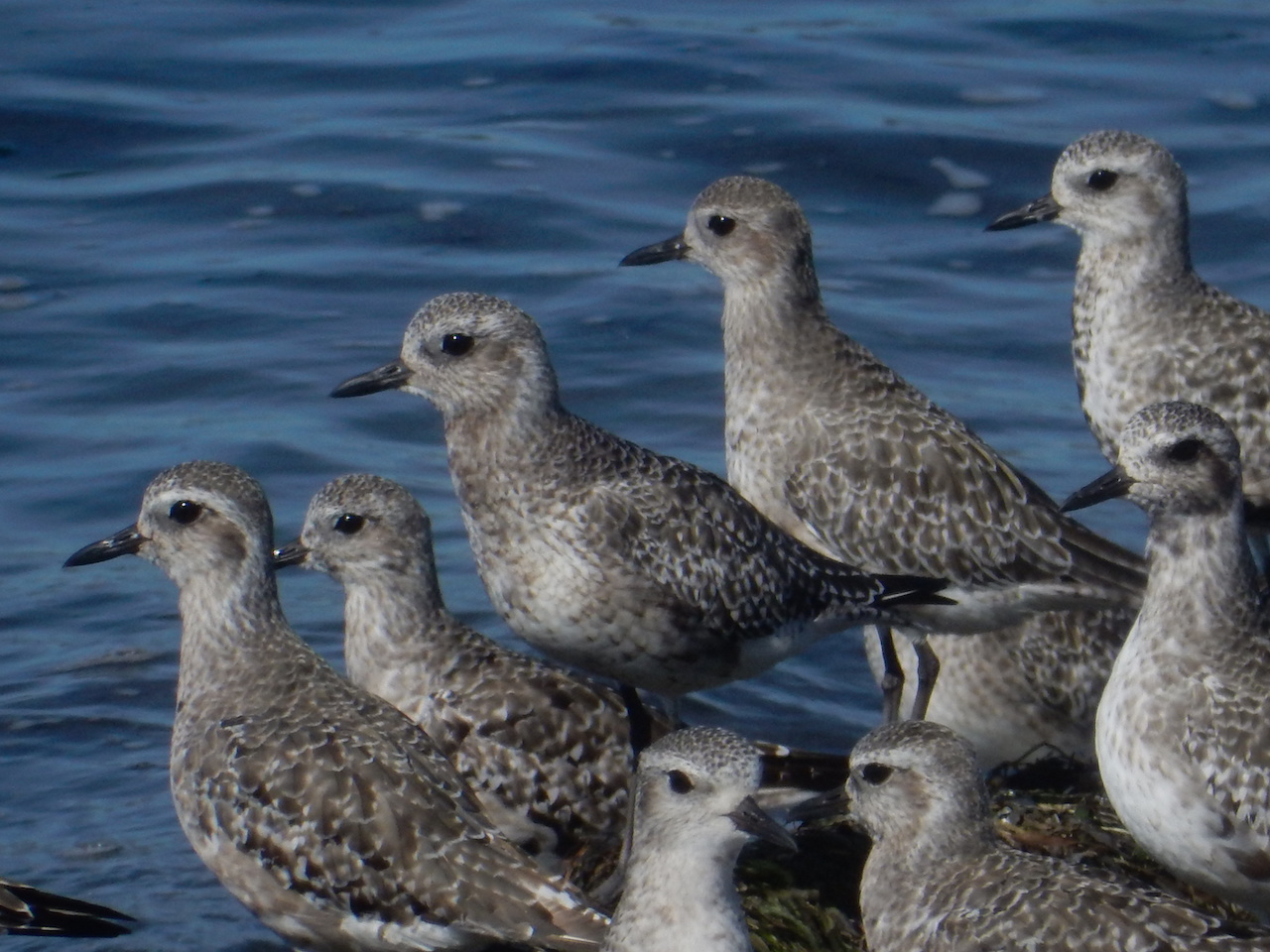Black-bellied Plovers photo: Joe Meche